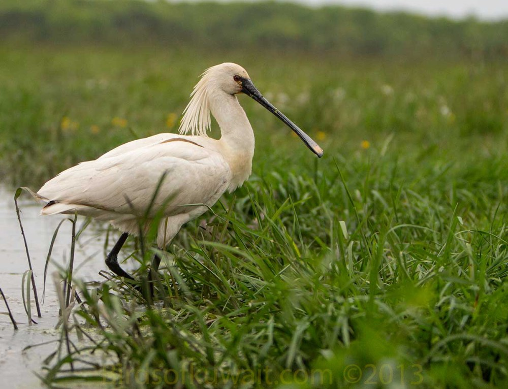 Eurasian Spoonbill at the edge of water