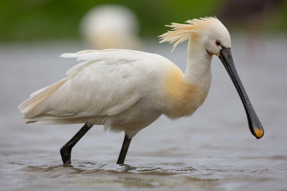 Eurasian Spoonbill wading in water catching fish