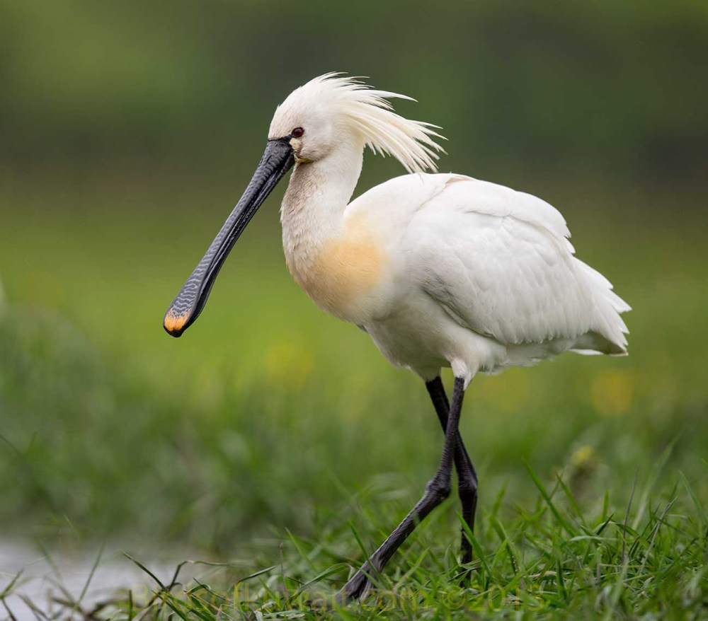 Eurasian Spoonbill in breeding plumage on a grassy ground near water