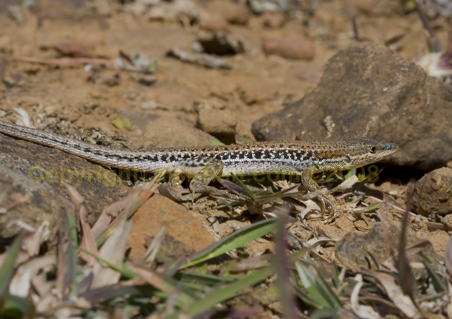 Socotra Lizard running on the ground