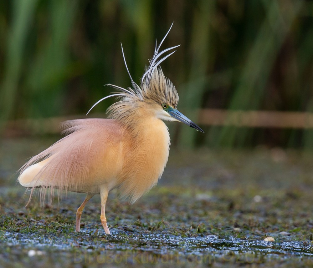 Squacco Heron Ardeola ralloides standing in water