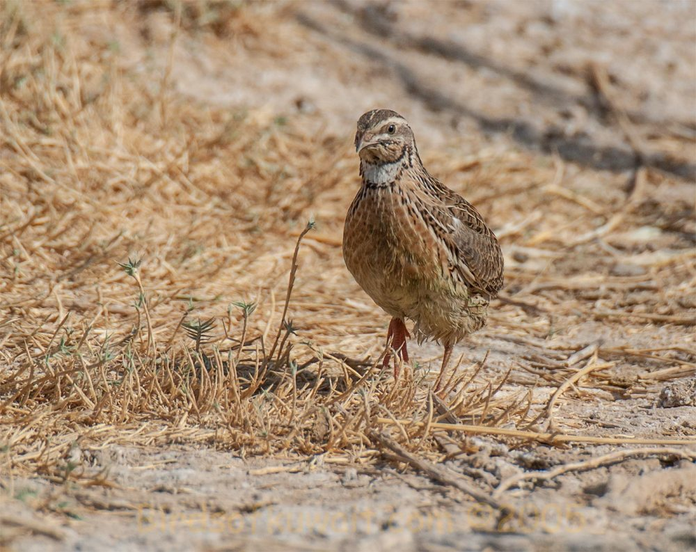 Common Quail running on ground
