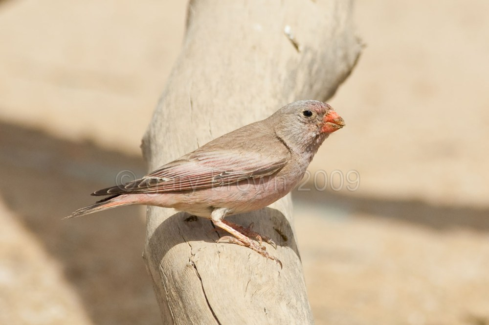 Trumpeter Finch on a branch