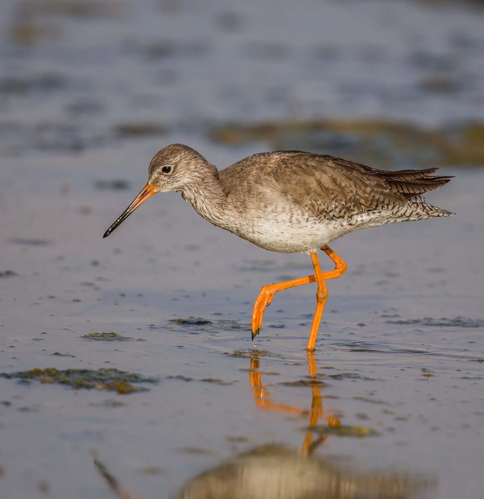 Common Redshank Tringa totanus
