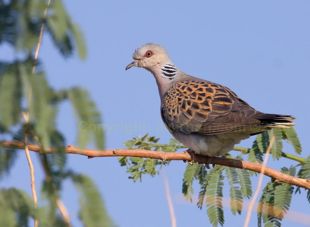 European Turtle Dove perching on a branch