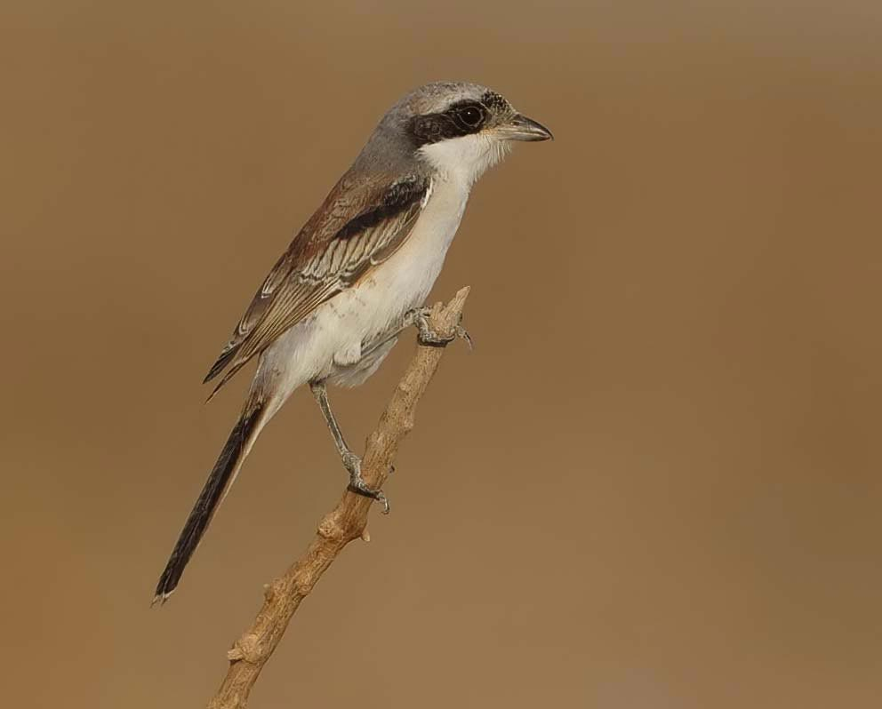 A Bay-backed Shrike perching on a branch