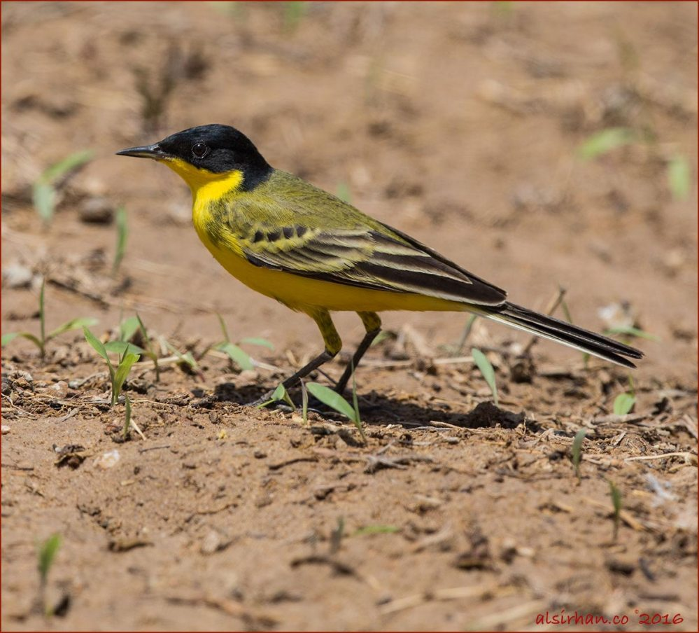 Black-headed Wagtail standing on ground