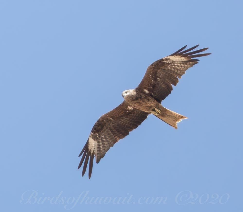Black Kite in flight from below