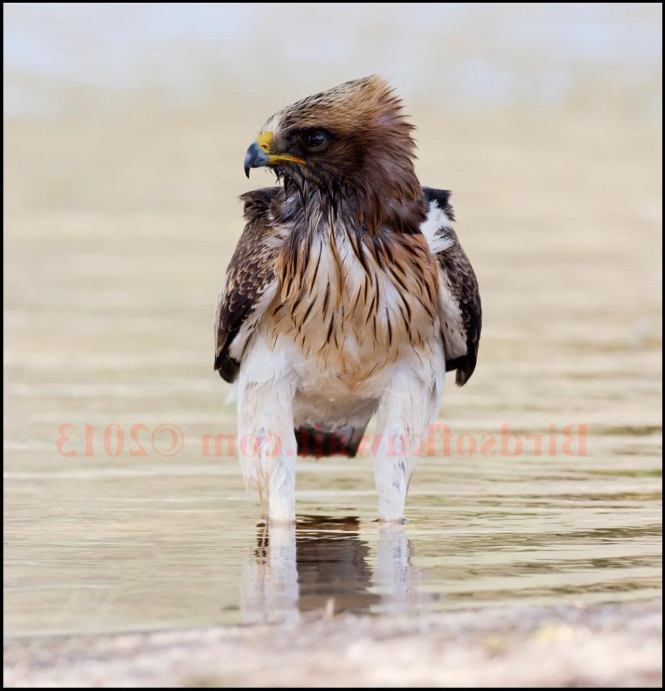 Booted Eagle standing in water after it drank some