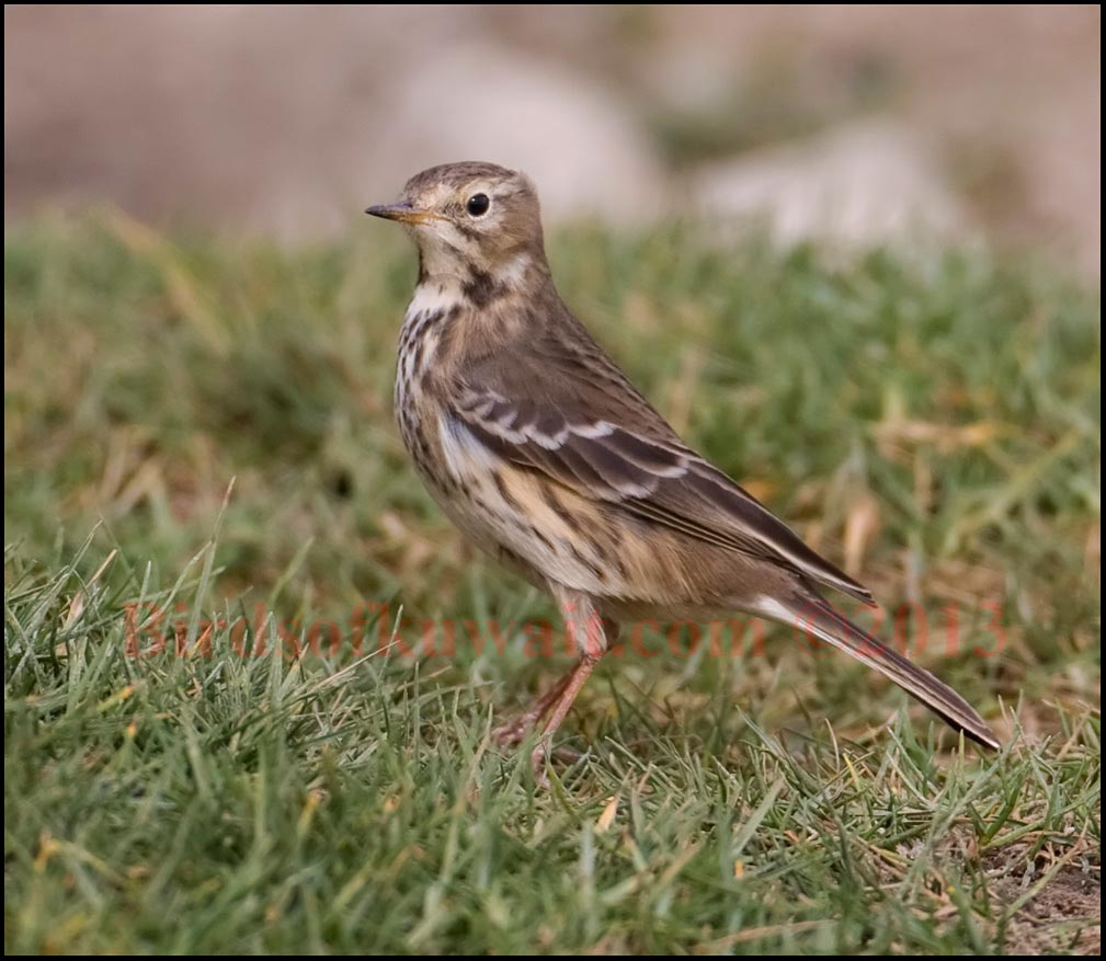 Buff-bellied Pipit on the ground