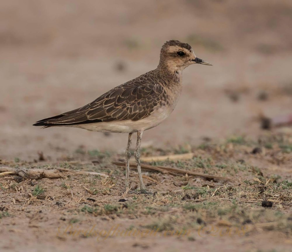 A young Caspian Plover perched on ground