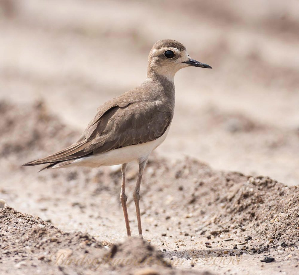 Caspian Plover standing on the ground