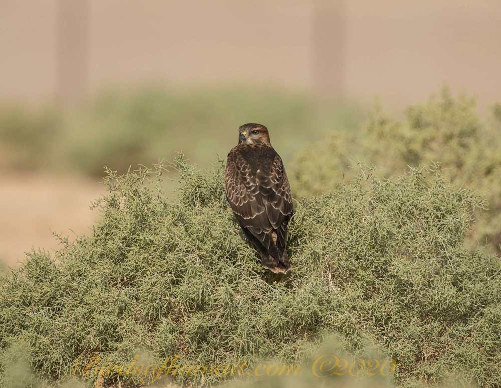 Common Buzzard perching on a bush