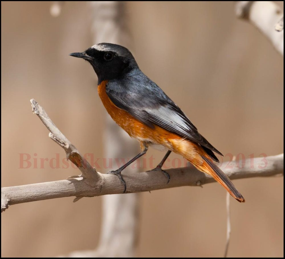 Common Redstart perching on a branch