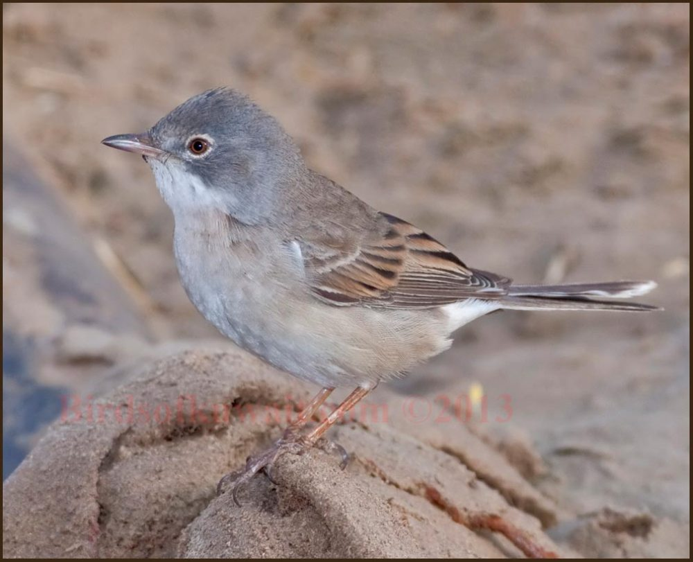 Common Whitethroat perching on a an old abandoned carpet