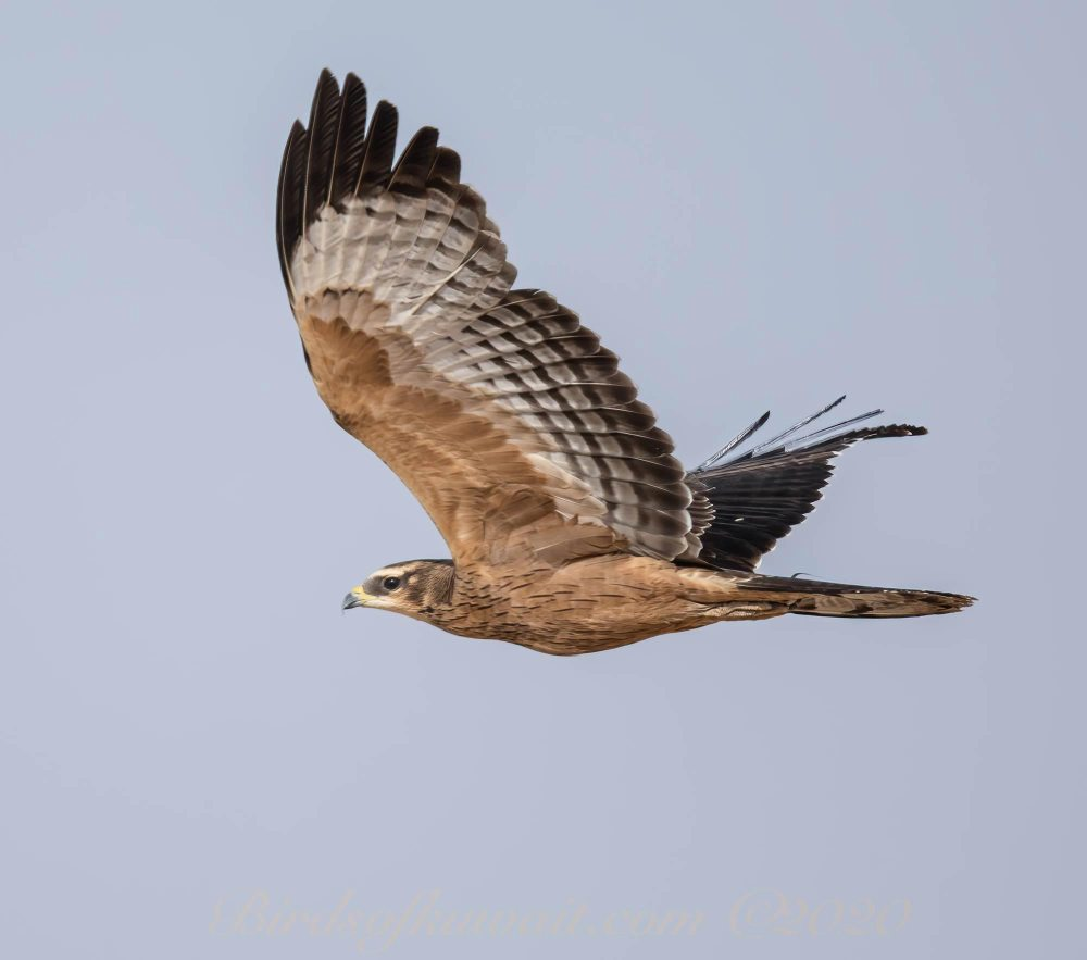 Crested Honey Buzzard on flight with raised wings