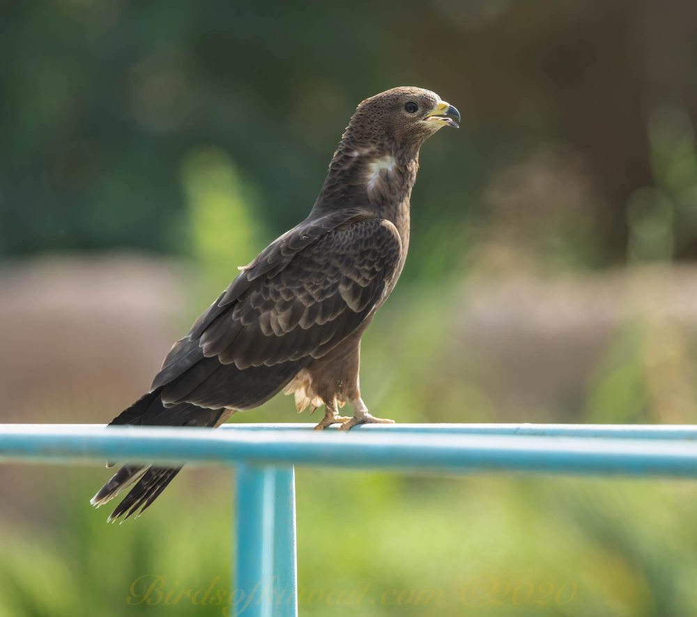 Crested Honey Buzzard perching on a fence