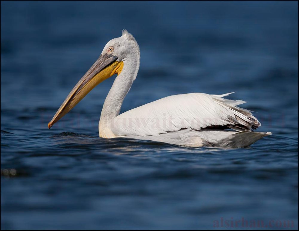 A Dalmatian Pelican swimming on the water