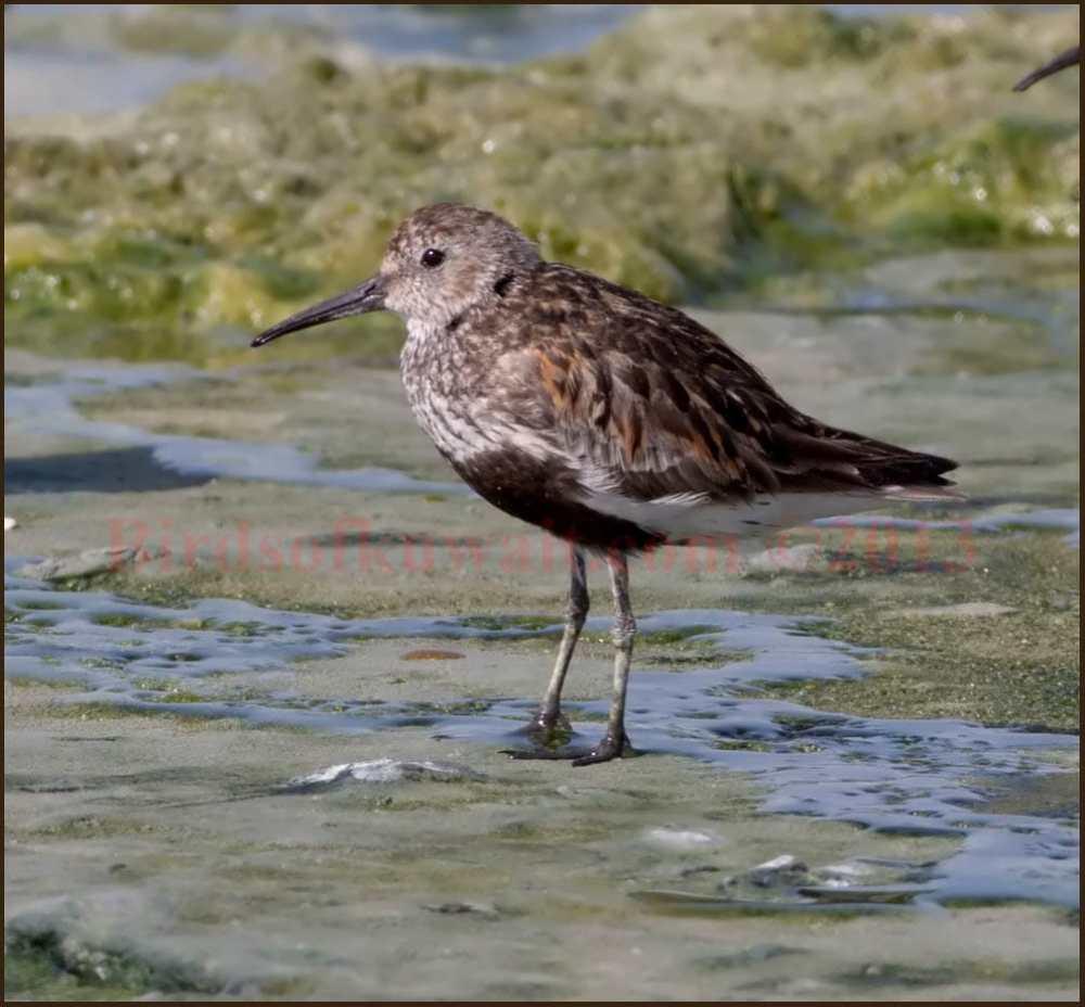 Dunlin standing on the intertidal wet zone