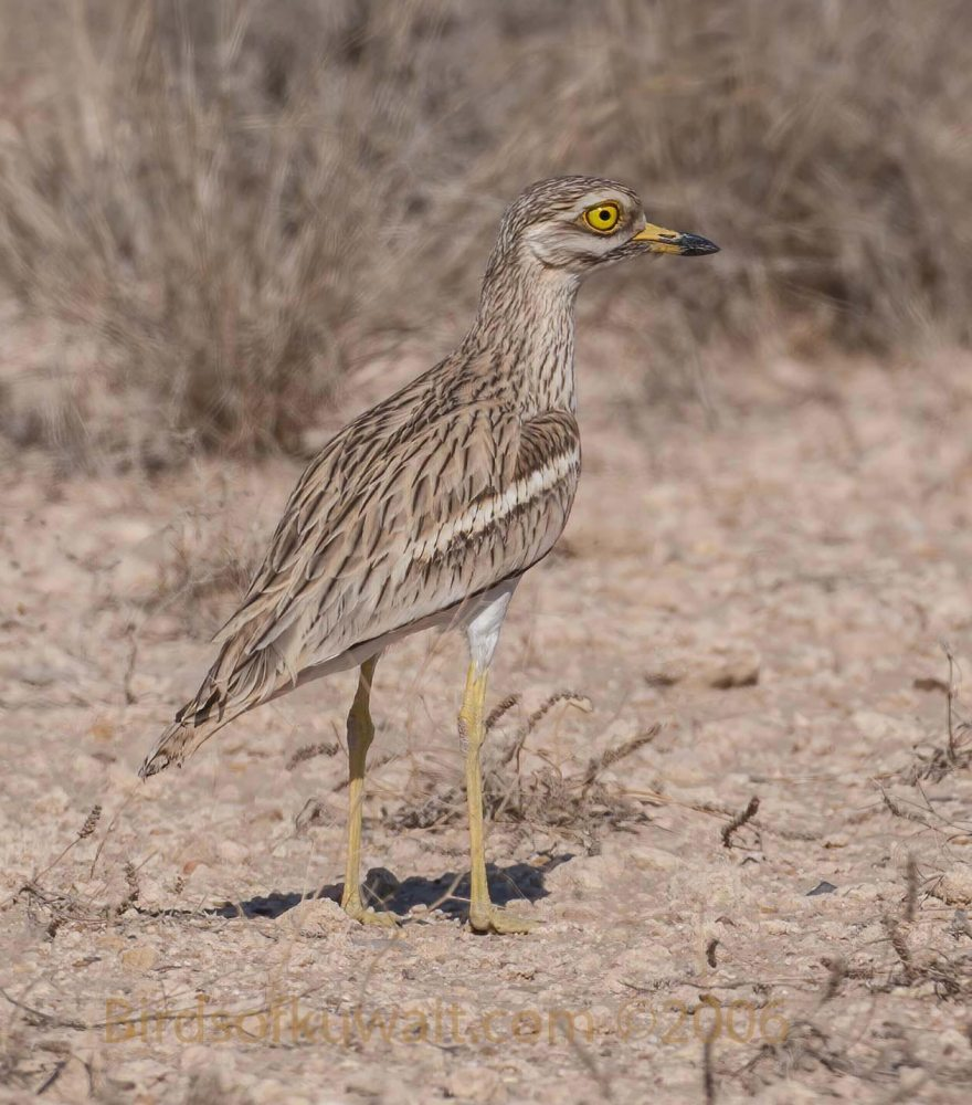 A Eurasian Stone-curlew standing still