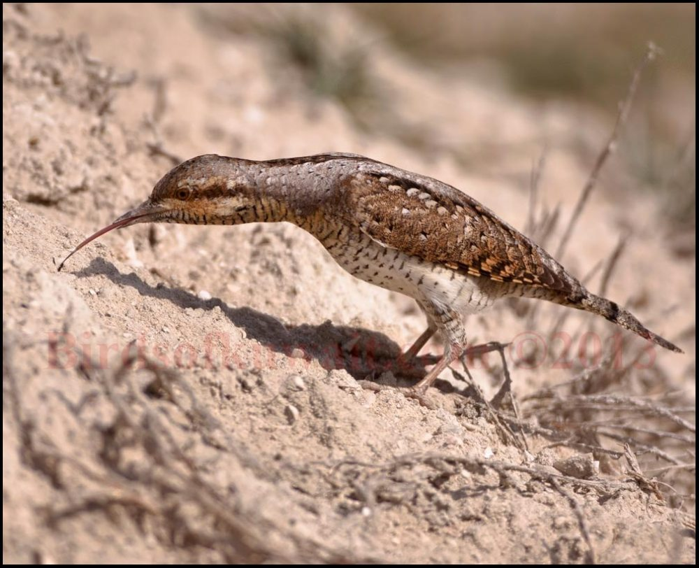 A Eurasian Wryneck catching an ant with its long tongue