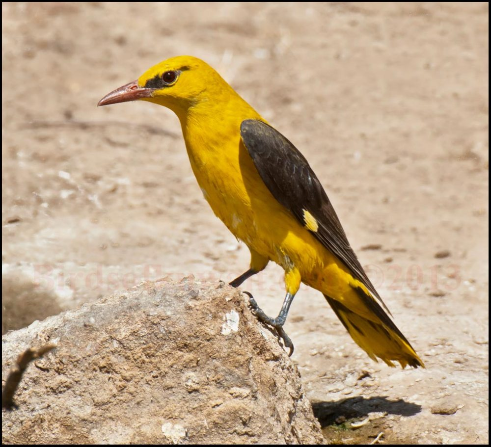 A nicely coloured male Eurasian Golden Oriole perching on a rock