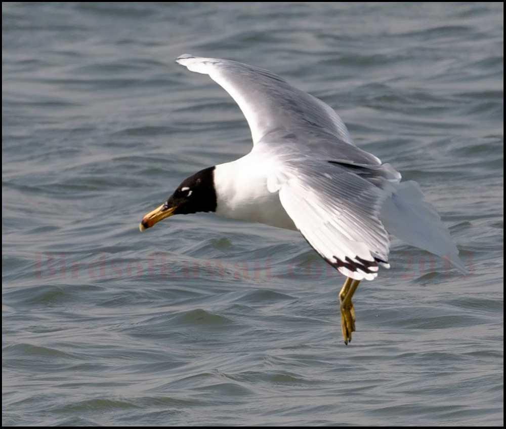 Great Black-headed Gull is landing on water
