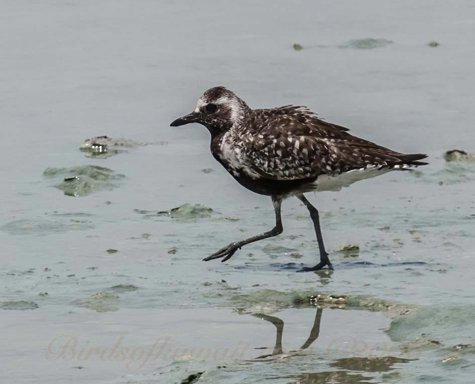 A Grey Plover walking on muddy intertidal area