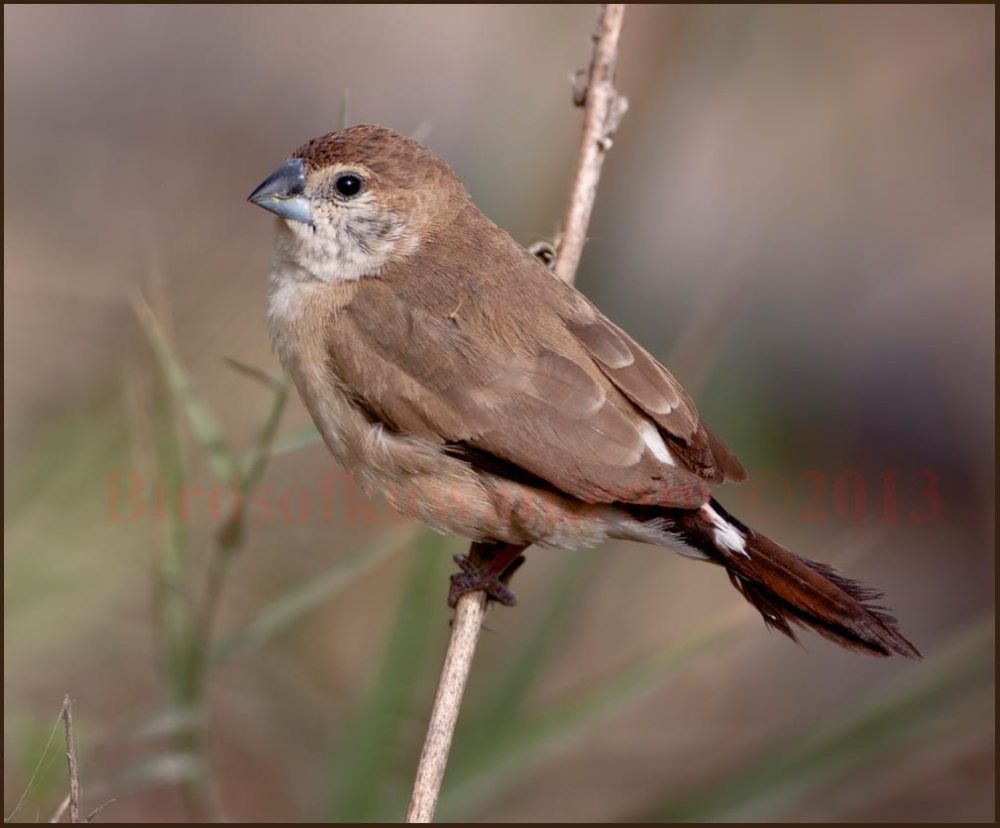 Indian Silverbill perching on a dry reed stem