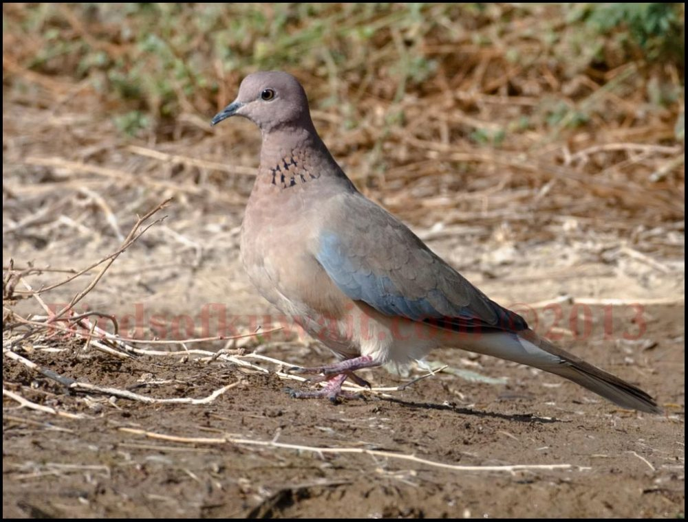 Laughing Dove is walking on ground
