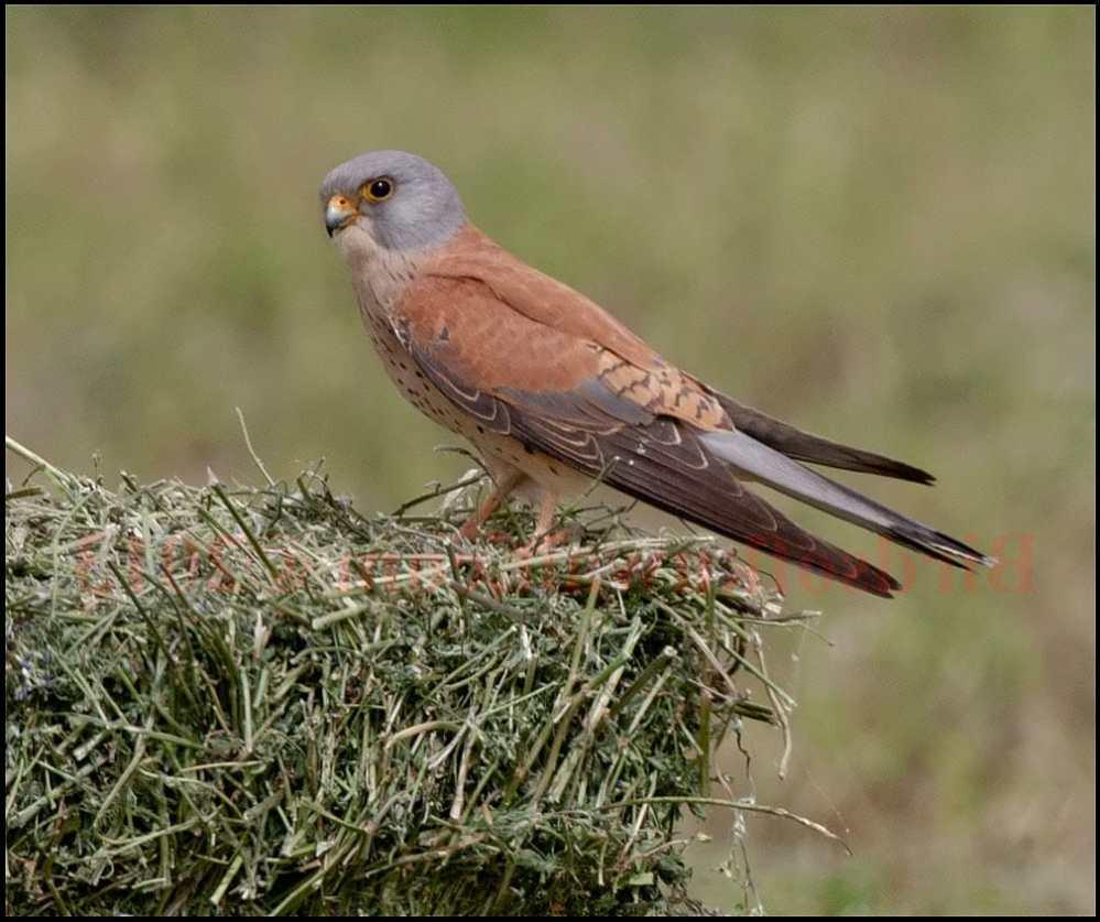 Lesser Kestrel perching on a haystack