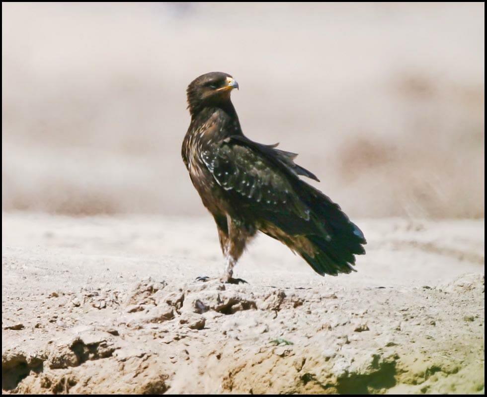 Lesser Spotted Eagle Clanga pomarina