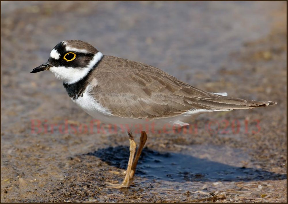 Little Ringed Plover standing near water