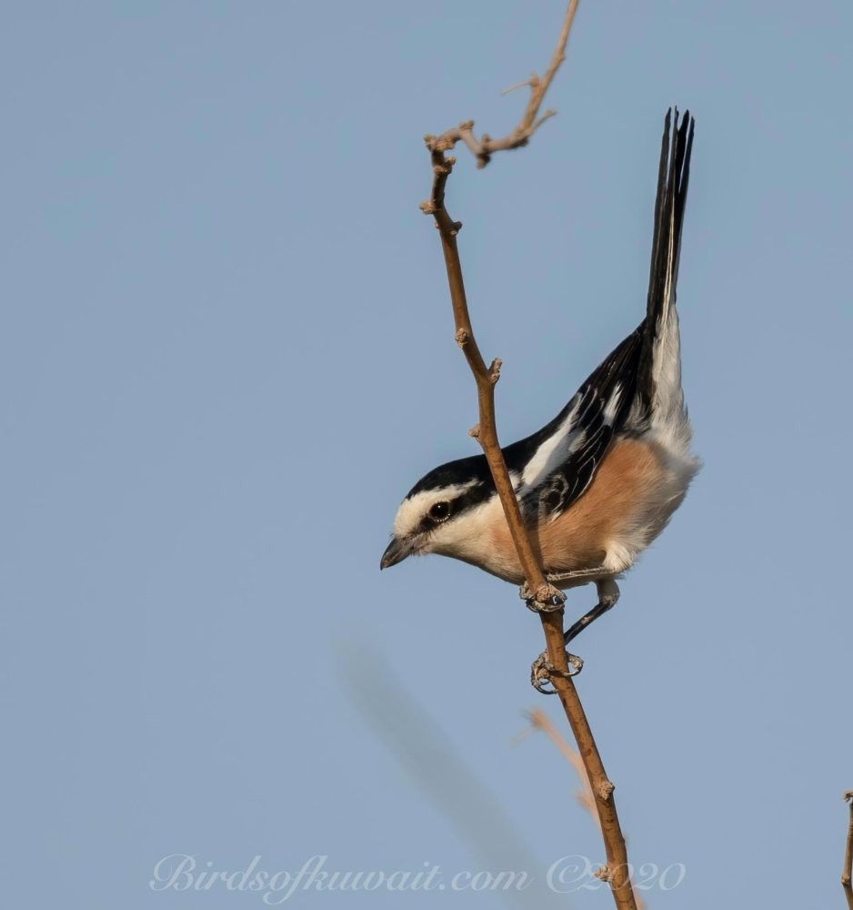 Excited Masked Shrike on a branch