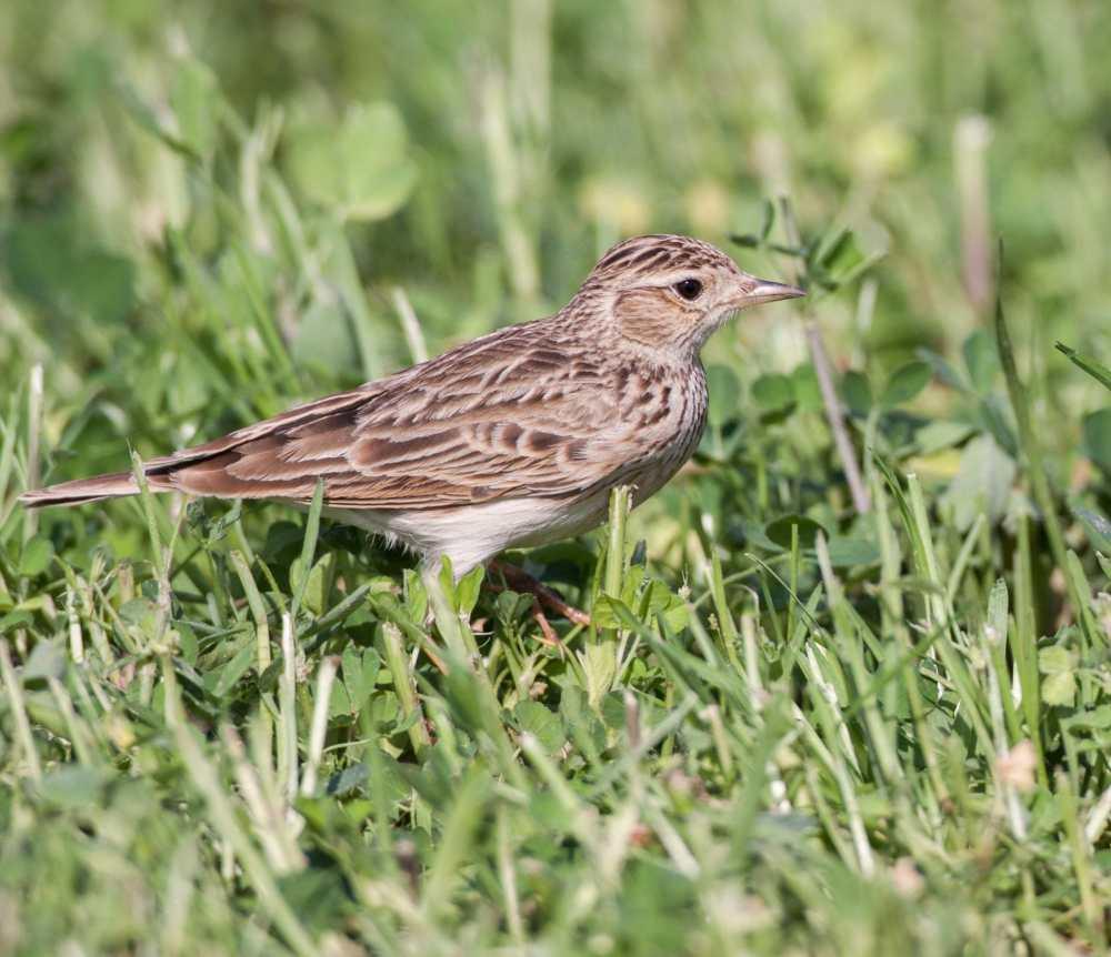 Oriental Skylark feeding in grass