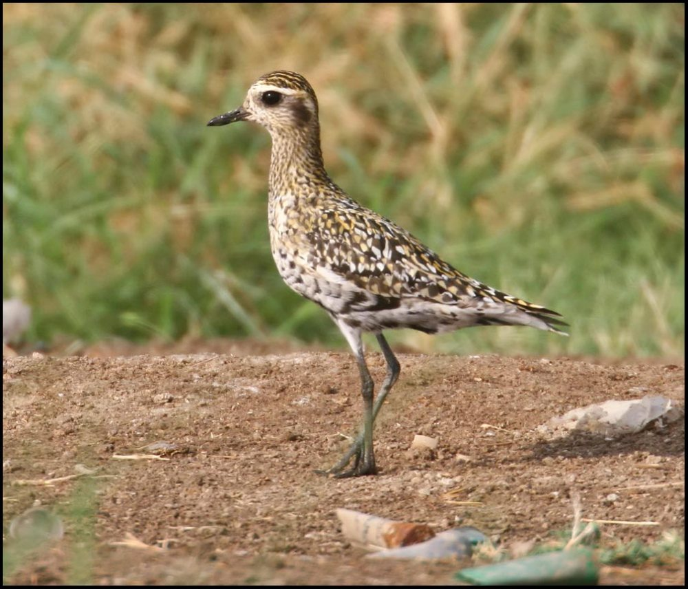 Pacific Golden Plover is standing upright