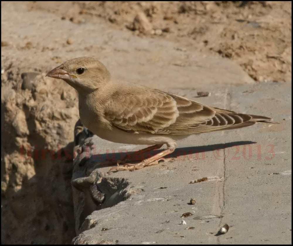 Pale Rockfinch on concrete slab