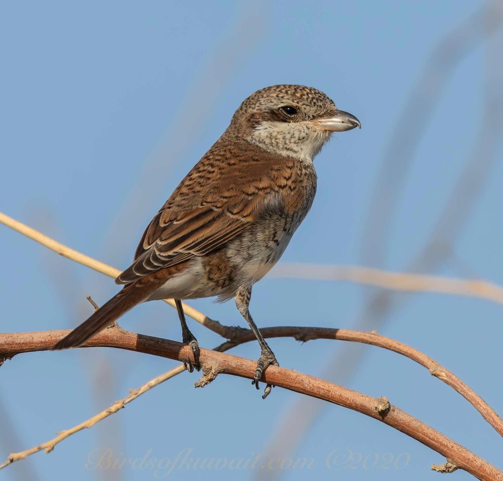 A young Red-backed Shrike perching on a branch