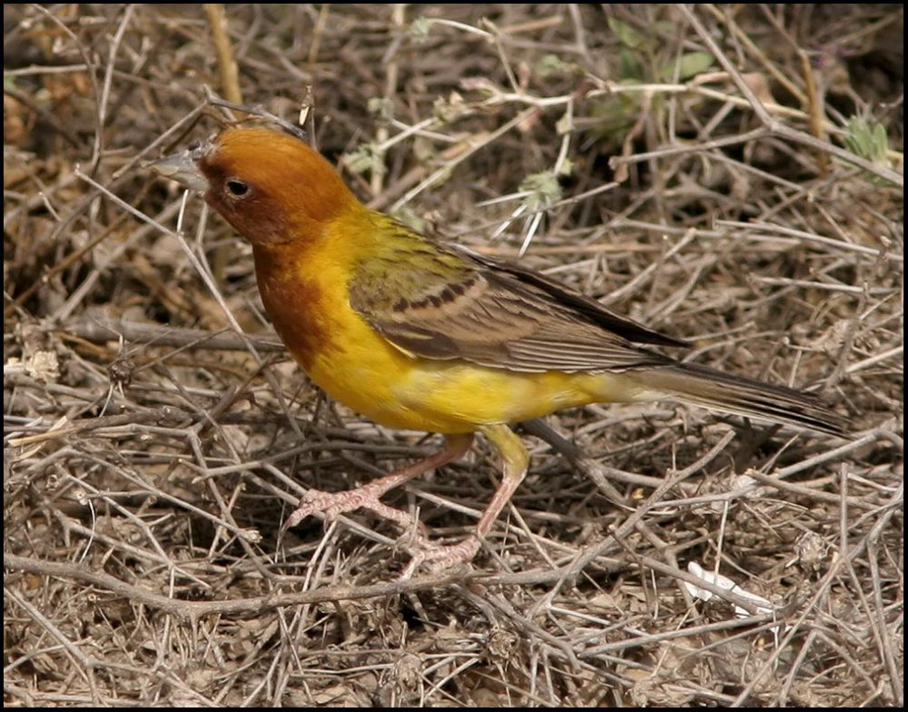 Red-headed Bunting sitting on ground