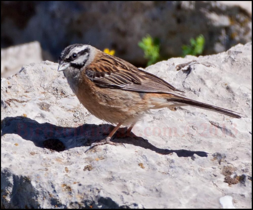 Rock Bunting on a rock