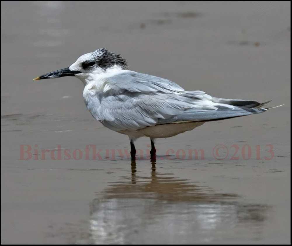 Sandwich Tern standing in shallow sea water