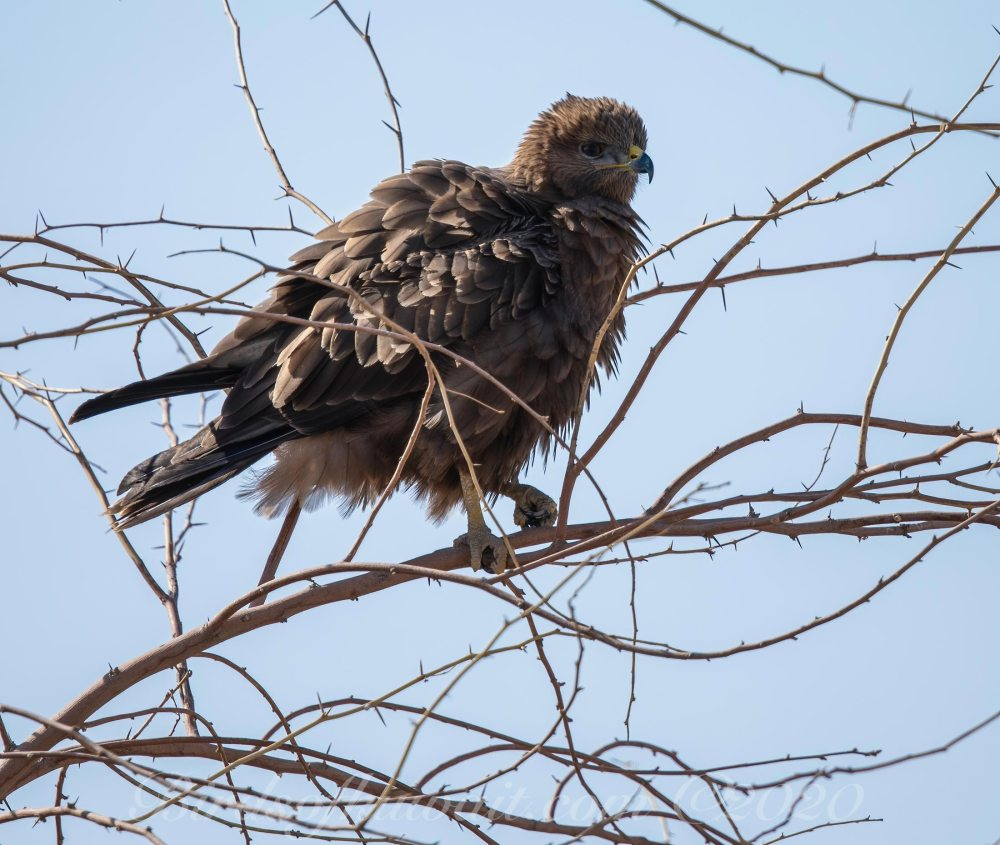 Steppe Buzzard vulpinus perching on dead branches of a Prosopis juliflora tree