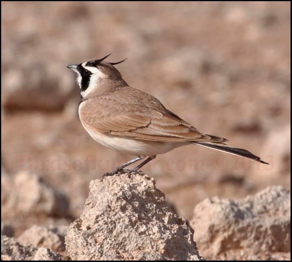 Temminck's Lark perching on a rock in the desert