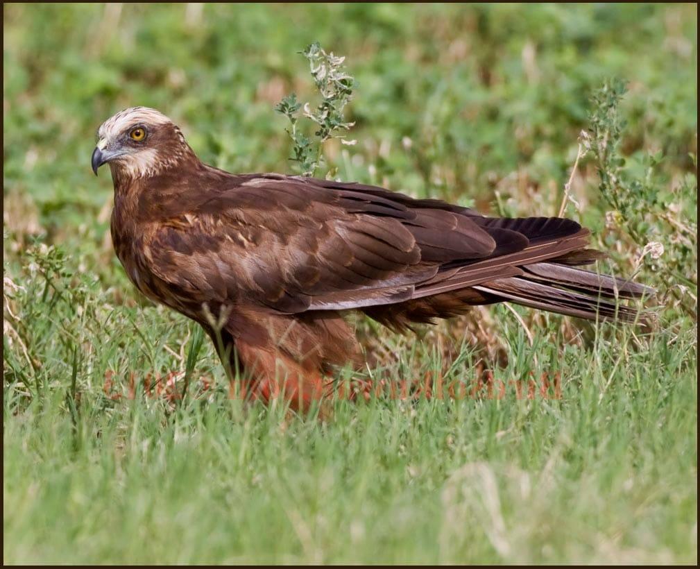 Western Marsh Harrier on ground