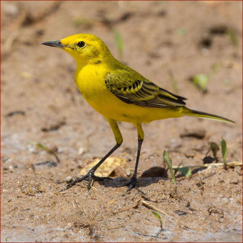 Yellow-headed Wagtail standing on ground