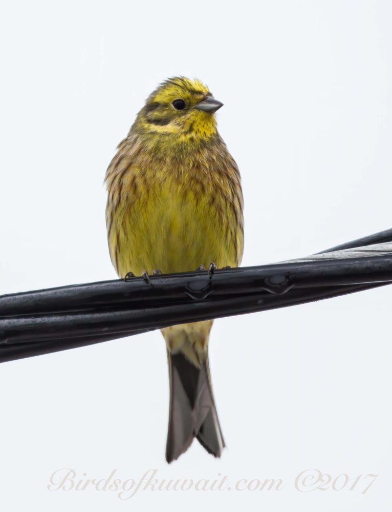 A Yellowhammer perching on a wire