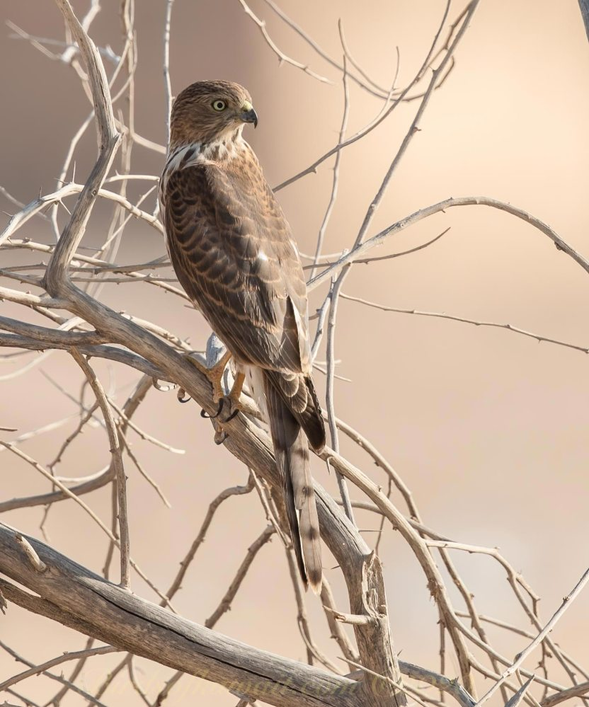 Shikra perching on branches