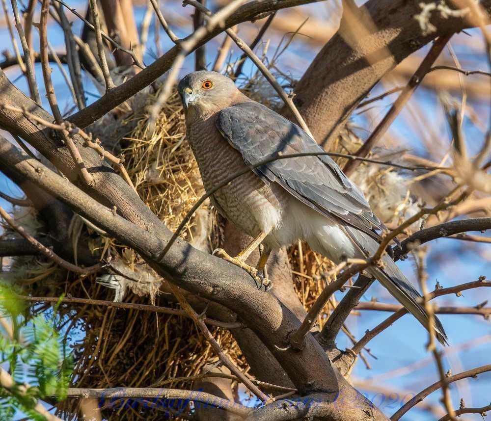 Male Shikra perching on a tree