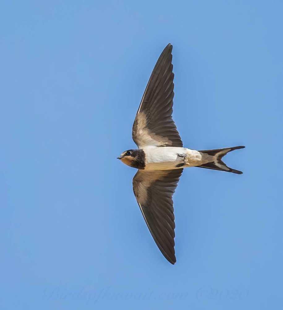 Barn Swallow in flight