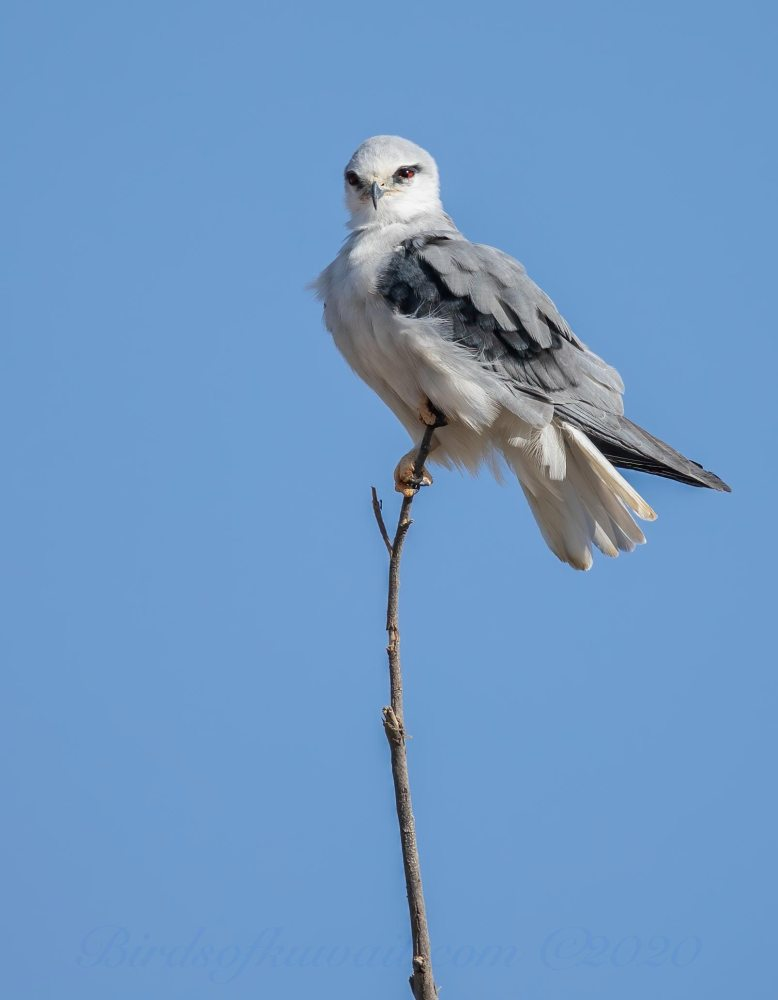 Black-winged Kite perching on a stick